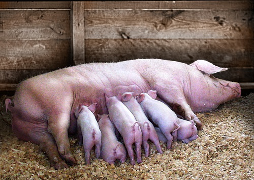 How to start a piggery business in Zimbabwe and the business plan ...